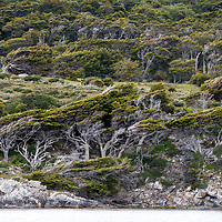 The windswept beech trees lining the Beagle Channel in Parque Nacional Tierra del Fuego, near Ushuaia, Argentina.