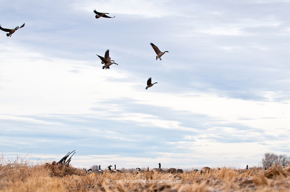 Waterfowl hunters in layout blinds take aim at incoming Canada geese in a grain stubble field in southeast Idaho.