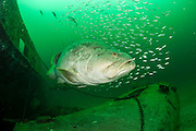 Goliath Grouper, Epinephelus itajara, and Cigar Minnows, Decapterus punctatus, swim side by side near the shipwreck Danny offshore Singer Island, Florida, United States.