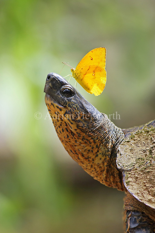 Apricot sulphur butterfly (Phoebis argante) feeding on salt-rich tears of black river turtle (Rhinoclemmys funereal).  Tortuguero National Park, Costa Rica.