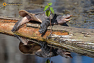 Soft shell turtle on log in Everglades National Park, Florida, USA