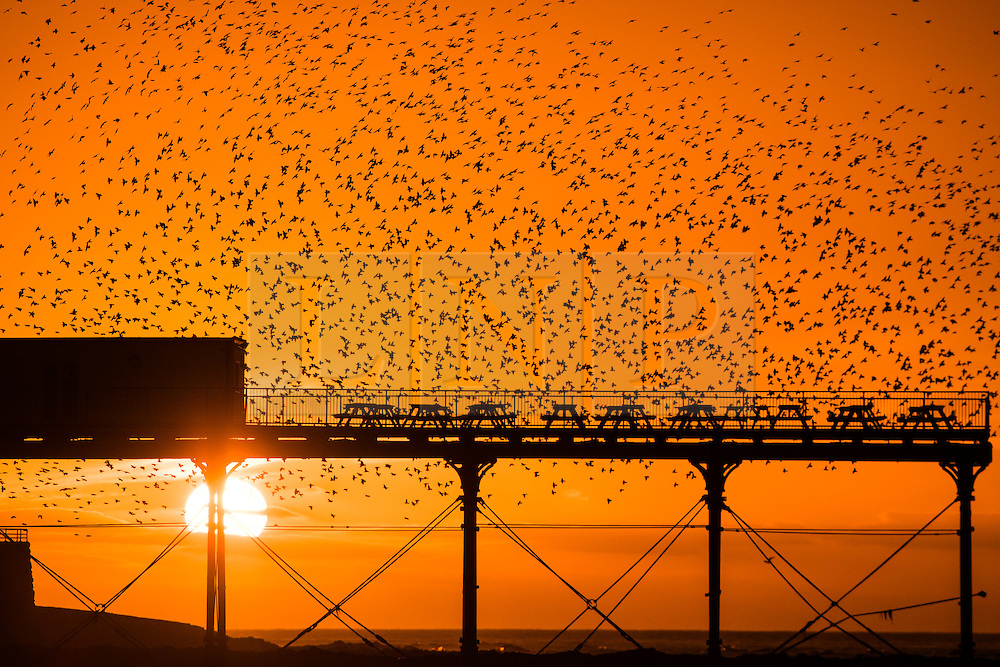 Aberystwyth Wales UK, Tuesday 27 December 2016<br /> <br /> UK weather: As the sun sets dramatically  at the end of a clear  and freezing cold December day, tens of thousand of starlings perform dramatic murmurations over Aberystwyth  before descending to crowd together and roost safely for the night on the cast iron legs underneath  the town's Victorian  seaside pier<br /> <br /> Although seemingly  plentiful in Aberystwyth, the birds are in the RSPB's 'red list' of at risk species, with their numbers across the UK  declining by over 60% since the 1970's<br /> <br /> photo © Keith Morris