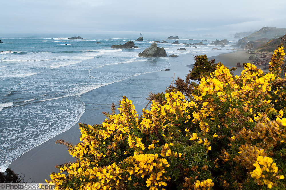 Invasive gorse flowers bloom yellow in February at Harris Beach State Park, on US Highway 101, north of Brookings, Curry County, Oregon, USA. The Pacific Ocean carves sea stacks from coastal cliffs.