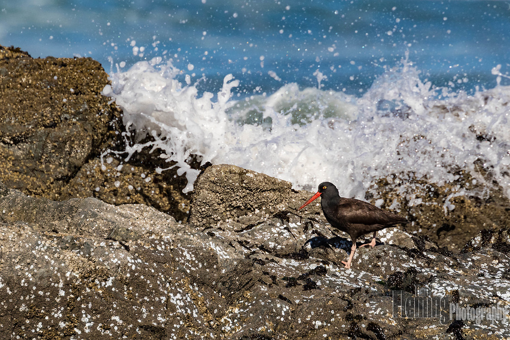 A Black Oystercatcher (Haematopus bachmani) on the rocky coastline of Pt Reyes National Seashore, USA, looks for food, primarily mussels and limpets.