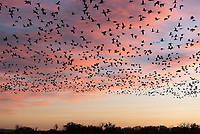 Snow Geese fill the skies at Bosque del Apache National Wildlife Refuge, New Mexico.