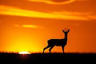 Western Roe Deer (Capreolus capreolus) adult male silhouetted against a dusk sky, Norfolk, UK.