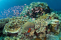 Anthias and Angelfish feed in a pristine hard coral garden<br /> <br /> Shot in Indonesia
