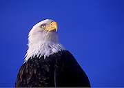 Image of a bald eagle portrait on the Kenai Peninsula, Alaska, the bald eagle is a bird of prey and national bird and symbol of the United States of America