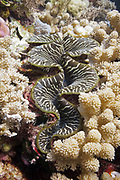 Giant clam (Tridacna crocea) in soft coral - Agincourt Reef, Great Barrier Reef, Queensland, Australia.<br /> <br /> Editions:- Open Edition Print / Stock Image