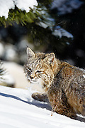 Bobcat photographed near Walker Ranch in the foothills above Boulder, Colorado.