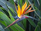 Bird of Paradise, South African / Strelitzia reginae
