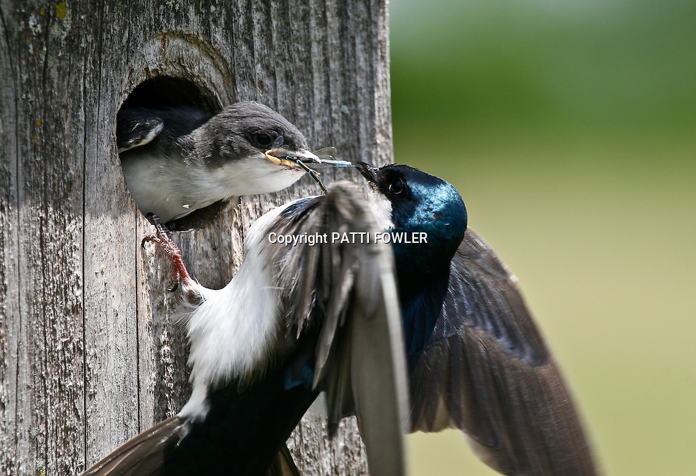 Tree swallow juvenile in bird house  with parent feeding