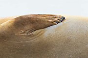 The flipper of a female southern elephant seal is distinctive with its five fingernails