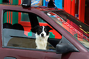 Dog in a car, Ennistymon, Co. Clare