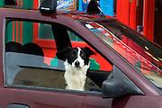 Dog in a car, Ennistymon, Co. Clare