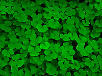 A mass of Oxalis plants vie for sunlight with their three-leafed clover looking leaves.