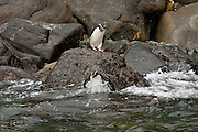 Fiordland Crested Penguin, Milford Sound, New Zealand