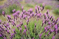 French lavender (Lavandula stoechas) in Campanarios de Azába nature reserve, Salamanca Region, Castilla y León, Spain