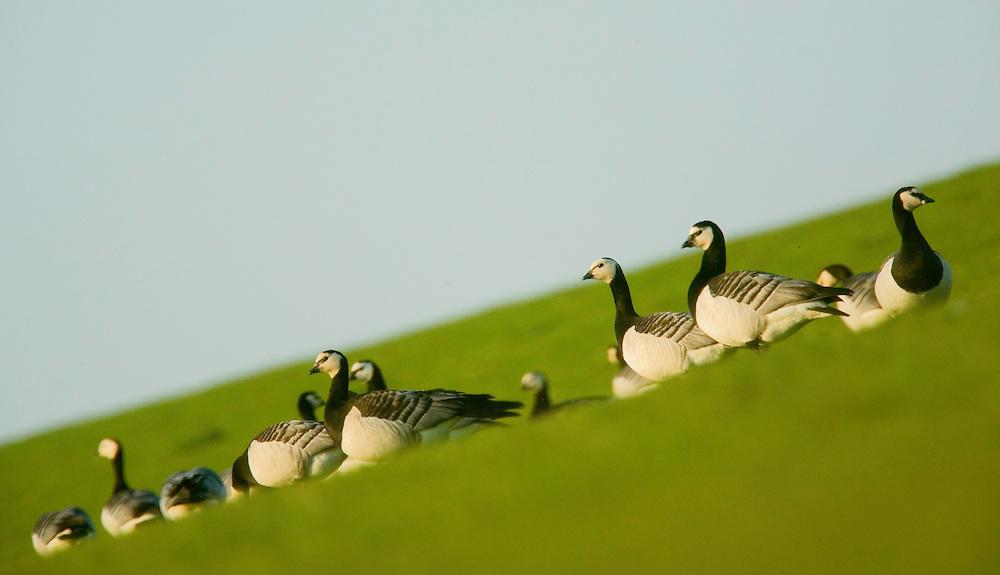 25.04.2009<br /> Barnacle Goose (Branta leucopsis) ap&aacute;cal&uacute;d<br /> Westerhever, Germany