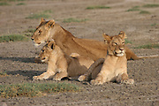 Africa, Tanzania, Serengeti National Park, a pride of Lions Panthera leo