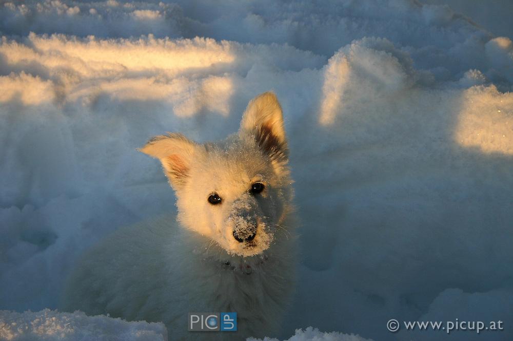 Nanouk, ein Weißer Schweizer Schäferhund, wie sie noch klein ist - im Winter im Tiefschnee am Mondseeberg in Oberösterreich