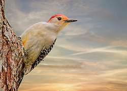 A Male Red-Bellied Woodpecker Perched High Aside A Tree Trunk Stops To Align For A Sunset Shot.