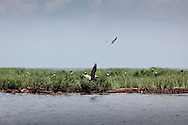 Boom  in place around Cat Island , the home of a bird rookery that has been impacted by the BP oil leak from the  Deepwater Horizon wellhead. Brown Pelican's Louisiana's State bird are threatened by the oil in Barataria bay and on the shores of the island.