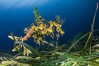 Leafy sesa dragon with eggs (Phycodurus eques), South Australia