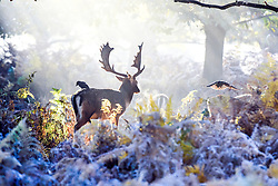 © Licensed to London News Pictures. 02/11/2016. Richmond, UK. Deer cleaned by crows in a woodland glade.  Deer in the frost in Richmond Park London today 2nd November 2016. much of the country experienced a frost overnight. Photo credit : Stephen Simpson/LNP