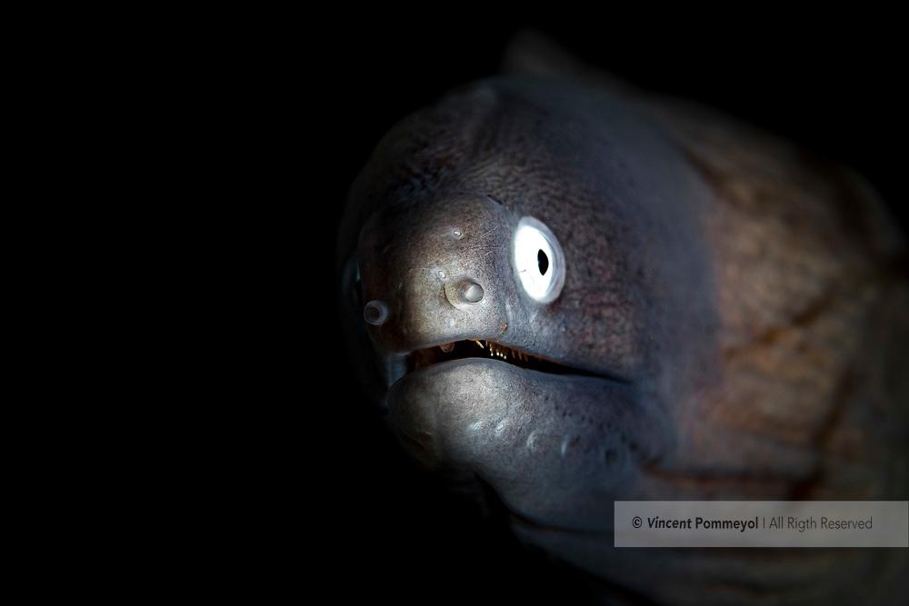 Greyface moray-Murène à oeil blanc (Gymnothorax thyrsoideus), Nusa Penida island, Bali, Indonesia.