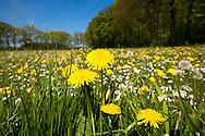 Europe, Germany, North Rhine-Westphalia, Lower Rhine Region, grassland with flowers at the river Issel near Wesel.<br /> <br /> Europe, Deutschland, Nordrhein-Westfalen, Niederrhein, Wiese mit Blumen an der Issel bei Wesel.