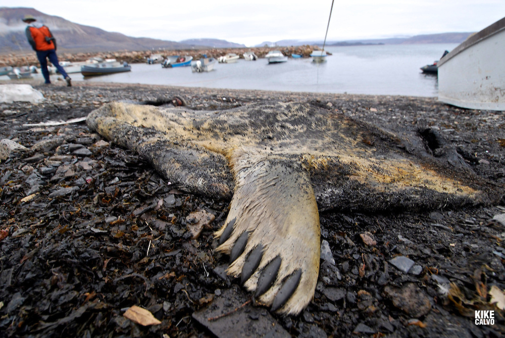 Remains of a dead ringed seal ( Pusa hispida )after a hunting. Coastal Inuit community of Arctic Bay. Lancaster Sound. HIgh Arctic. Baffin Island..