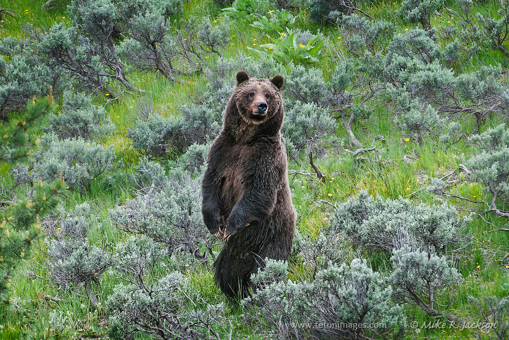 Grizzly bear standing and watching for danger in Grand Teton National Park near Jackson Hole, WY.