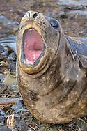 Southern Elephant Seal pup - Mirounga leonina