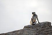 Grey langur (Semnopithecus dussumieri) on the watch in the Jawai area, Rajasthan, India.