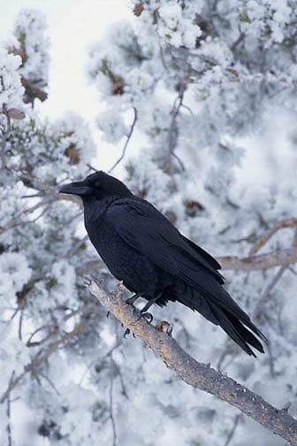Common Raven, (Corvus corax) Yellowstone National Park.