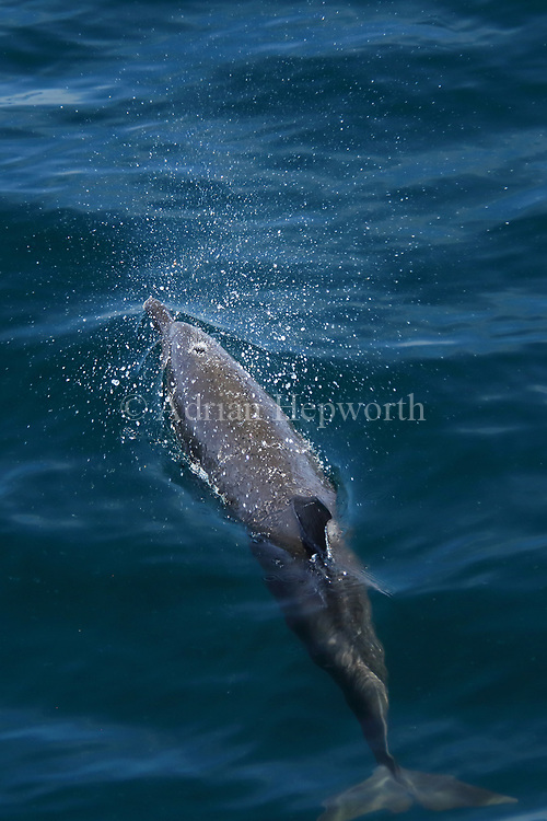 Pantropical Spotted Dolphin (Stenella attenuate) blowing through blowhole. Papagayo Peninsula, Guanacaste, Costa Rica. June 2018.