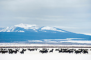 Black angus, cattle, grazing, Big Hole Valley, Bitterroot Range, Montana