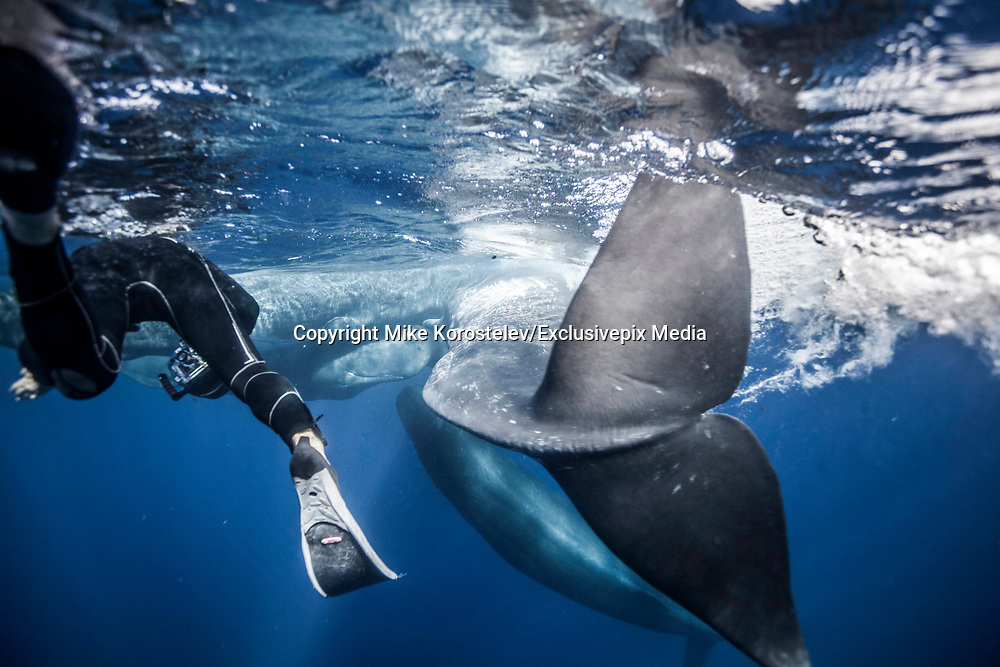 """Amazing moment photographer captures Sperm whales socializing.<br /><br />Photographer Mike Korostelev captured this moment showing a group of sperm whales socializing in the Azores Islands.<br />Mike who is a professional underwater photographer said: """"It was lucky to see that behavior"""" <br /><br />""""I spent 1 month in that place and almost every day went out to the sea But only in one of last days I have seen this amazing moment""""<br />©Mike Korostelev/Exclusivepix Media"""