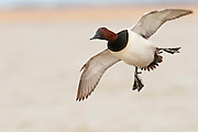 Canvasback; Aythya valisineria, male, Saginaw Bay, Michigan