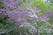 Flowering trees at Buttermilk Falls State Park in Ithaca, NY