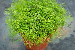 Dill in a terracotta pot - Anethum graveolens