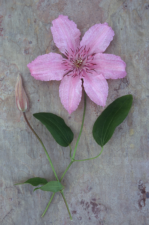 Pale pink and white flower with stalk of Clematis Hagley hybrid lying with flowerbud on marbled slate