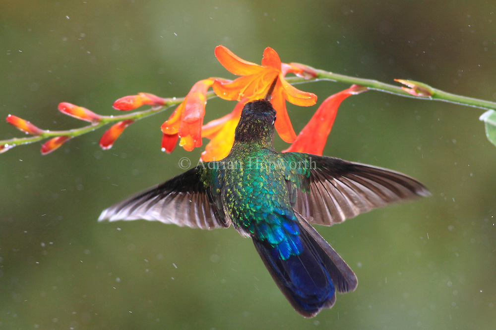 Fiery-throated hummingbird (Panterpe insignis) male feeding at flower in the rain. Cerro de la Muerte mountain range, Costa Rica. <br /> <br /> For pricing click on ADD TO CART (above). We accept payments via PayPal.