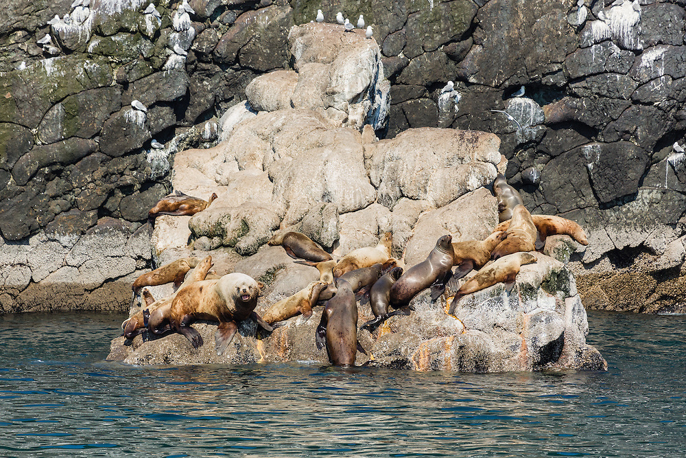 A bull Steller Sea Lion (Eumetopia jubatus) watches over his harem of females on this haulout in Resurrection Bay near Seward in Southcentral Alaska. Afternoon. Spring.