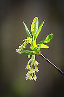 One of the very first small trees to flower in the forests of the Pacific Northwest, the Indian plum is a very attractive springtime bloomer shat decorates the wet forests with tiny cascades of white in lovely contrast with the deep green of the forest trees.