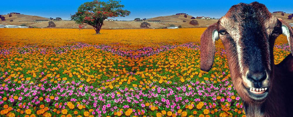 Flower Field Mixed Gerbera Daisies CGI Backgrounds, ,Beautiful Background