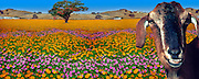 Flower Field Mixed Gerbera Daisies CGI Backgrounds, ,Beautiful Background