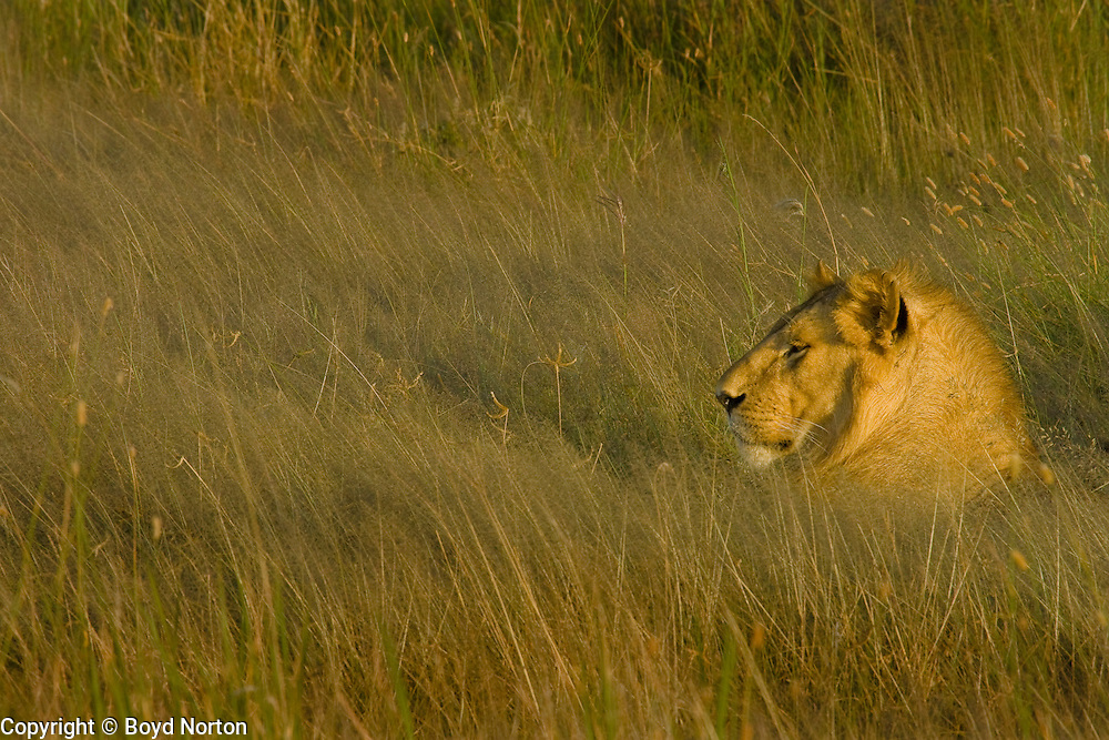 Young male lion, Serengeti National Park, Tanzania.
