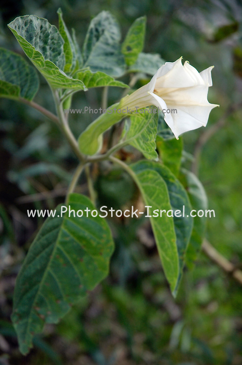 Israel, Datura innoxia,  Downwards Thornapple
